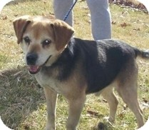 Beagle Dog for adoption in Wilmington, Massachusetts - Nik