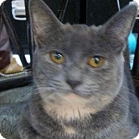 Domestic Shorthair Cat for adoption in Cincinnati, Ohio - Pila