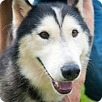 Adopt A Pet :: Kazu - Houston, TX