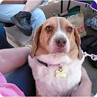 Adopt A Pet :: Daisybug - Phoenix, AZ