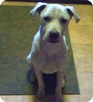 Labrador Retriever Mix Dog for adoption in Austin, Texas - Butler