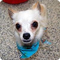 Adopt A Pet :: Polo - Bradenton, FL