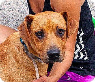 Redbone Coonhound/Labrador Retriever Mix Puppy for adoption in New York, New York - Lucius