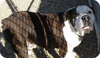 American Bulldog Dog for adoption in Clear Lake, Iowa - Hercules