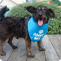Adopt A Pet :: King Terrier - Pacific Grove, CA