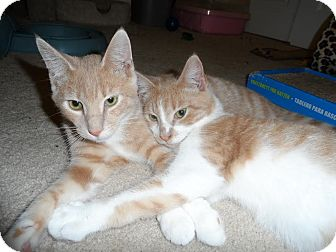 Domestic Shorthair Kitten for adoption in Fairfax, Virginia - Tucker Boy Kittens