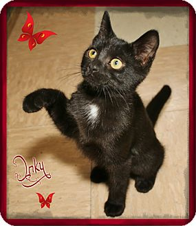 Domestic Shorthair Cat for adoption in Shippenville, Pennsylvania - Inky