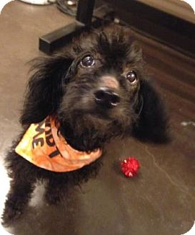 Toy Poodle/Dachshund Mix Dog for adoption in Kansas City, Missouri - Viola