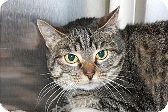 Domestic Shorthair Cat for adoption in Salem, Massachusetts - Miss Walrus