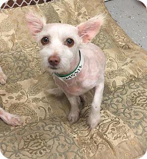 Westie, West Highland White Terrier/Maltese Mix Dog for adoption in Phoenix, Arizona - Lily