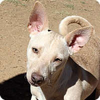 Dachshund Mix Dog for adoption in Phoenix, Arizona - Zeus