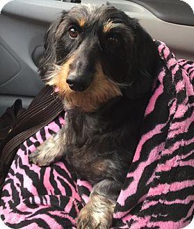 Dachshund Dog for adoption in Portland, Oregon - ELLA aka GIA