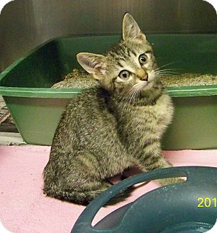 Domestic Shorthair Kitten for adoption in Dover, Ohio - Farrah