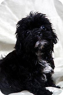 Bichon Frise/Shih Tzu Mix Puppy for adoption in St. Louis, Missouri - Vanessa Teddy Bear