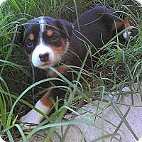 Adopt A Pet :: Bianca - Austin, AR