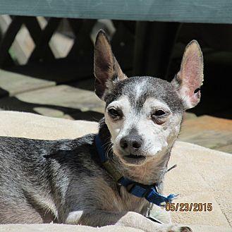 Chihuahua/Miniature Pinscher Mix Dog for adoption in Wapwallopen, Pennsylvania - Snoopy