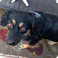 Adopt A Pet :: Zia - Las Vegas, NV