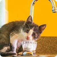 Domestic Shorthair Kitten for adoption in Larned, Kansas - Snap