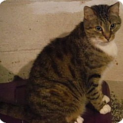 Photo 1 - Domestic Shorthair Cat for adoption in Saint Albans, West Virginia - Sparky