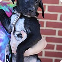 Adopt A Pet :: Sam - Manassas, VA