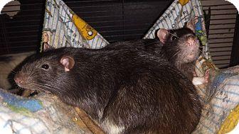 Rat for adoption in Welland, Ontario - Nico