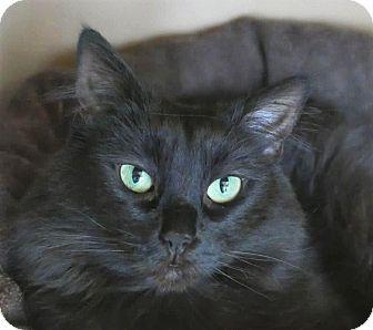 Domestic Longhair Cat for adoption in Kingston, Washington - Jolene
