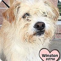 Adopt A Pet :: 317710 Winston - San Antonio, TX
