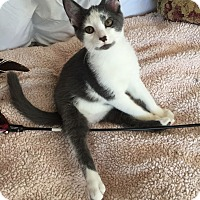 Domestic Shorthair Kitten for adoption in Akron, Ohio - Max