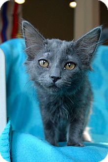 Domestic Mediumhair Kitten for adoption in St. Charles, Missouri - Q
