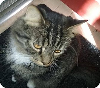 Domestic Shorthair Cat for adoption in Mt Pleasant, Pennsylvania - Slate