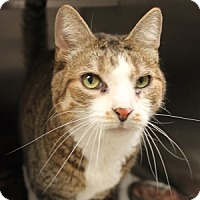 Domestic Shorthair Cat for adoption in Naperville, Illinois - Brad Pitt