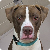 American Bulldog Mix Dog for adoption in Appleton, Wisconsin - Rock *Foster*