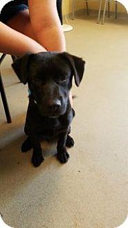 Labrador Retriever Mix Puppy for adoption in Joplin, Missouri - Atlas 4912