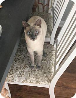 Siamese Cat for adoption in ludowici, Georgia - Sinatra