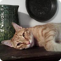 Adopt A Pet :: Pekoe - Lithia, FL