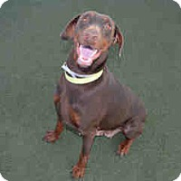 Adopt A Pet :: Sheba - Tracy, CA