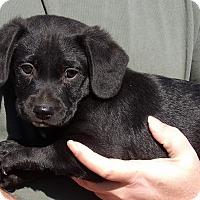 Adopt A Pet :: Yoda (8 lb) Video! - Burlington, VT