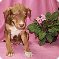 Adopt A Pet :: Lindt - Washington, DC