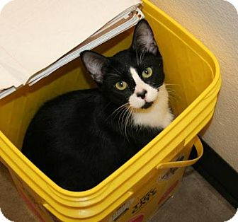Bombay Kitten for adoption in Scottsdale, Arizona - Alex- Courtesy Post