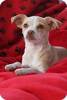 Chihuahua/Pug Mix Puppy for adoption in san diego, California - Emmie
