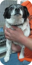Beagle/Rat Terrier Mix Puppy for adoption in Chicago, Illinois - Skittles (PENDING!)!)