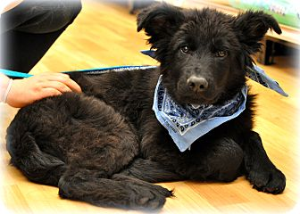 Newfoundland/Flat-Coated Retriever Mix Puppy for adoption in Sparta, New Jersey - Cooper