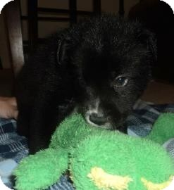 Border Collie/Husky Mix Puppy for adoption in Gainesville, Florida - Derringer