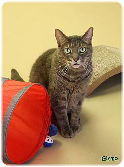Domestic Shorthair Cat for adoption in Welland, Ontario - Gizmo