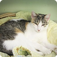 Domestic Shorthair Cat for adoption in Indianapolis, Indiana - Popsicles