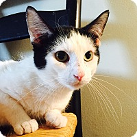 Domestic Shorthair Cat for adoption in Addison, Illinois - Scotch