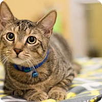 Domestic Shorthair Cat for adoption in Apopka, Florida - Stripe