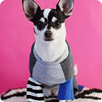 Chihuahua Dog for adoption in San Diego, California - Shay