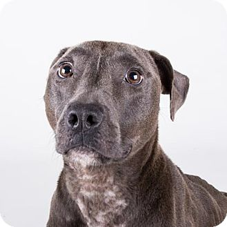 American Pit Bull Terrier Mix Dog for adoption in Decatur, Georgia - Addie
