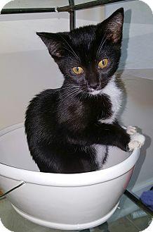 Domestic Shorthair Kitten for adoption in Homewood, Alabama - Kismet